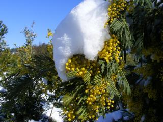 Mimosa-neige_01