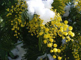 Mimosa-neige_03