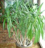 Pl occasion yucca