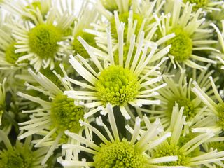Chrysanthemum_fl_02