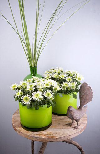 Chrysanthemum-pl_06