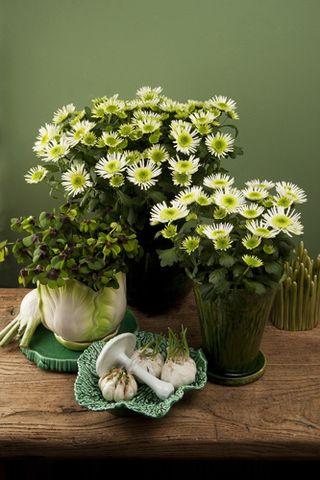 Chrysanthemum-pl_05