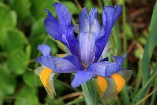 Iris_hollandais