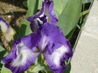 Iris-germanica_03