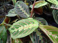 Maranta-leuconeura-erythrophylla1