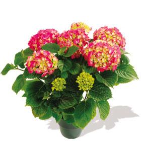 Interflora-hortensia