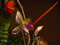 Orchidée__2