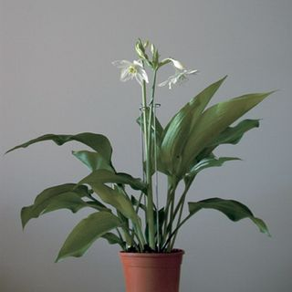 Eucharis-plante