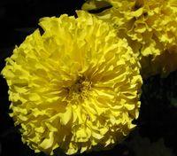 Rose d Inde