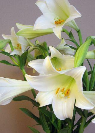 fleurs d 39 t fressia et lys blanc le pouvoir des fleurs. Black Bedroom Furniture Sets. Home Design Ideas