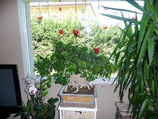 Ficus-microcarpa-ginseng_01