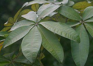 Pachira Macrocarpa