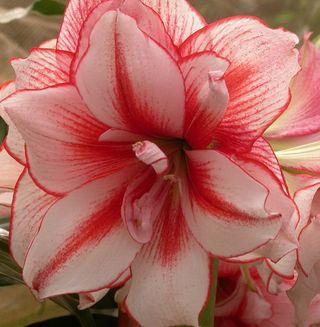 L 39 hyppeastrum ou amaryllis le pouvoir des fleurs for Les amaryllis