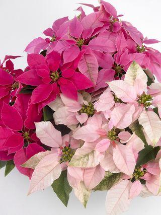 Euphorbia_HR_1_tcm49-160368
