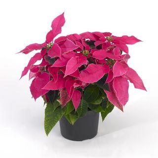 Euphorbia_HR_3_tcm49-160370