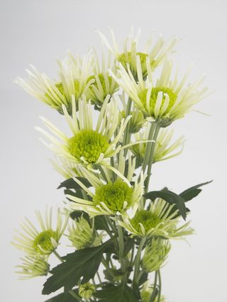 Chrysanthemum_fl_01