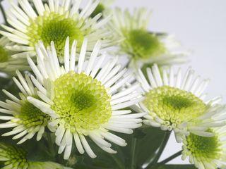 Chrysanthemum_pl_02
