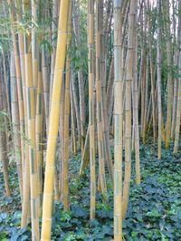 Bambou_04