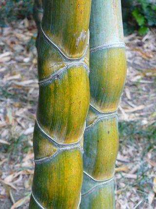 Bambou_06
