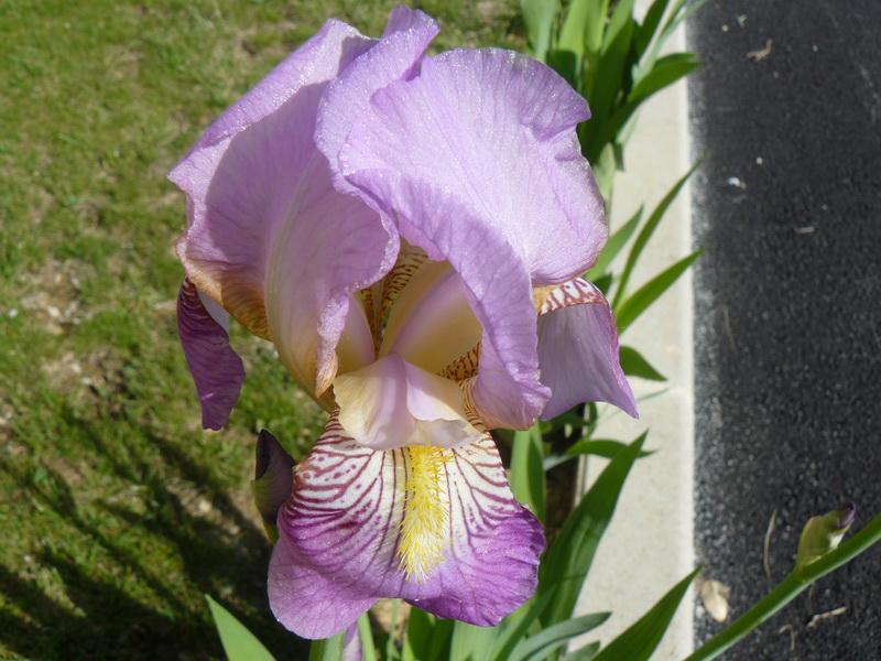 Iris-germanica_04