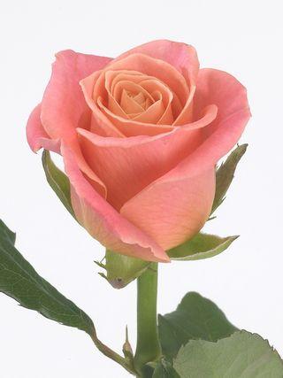Rose miss Piggy_01