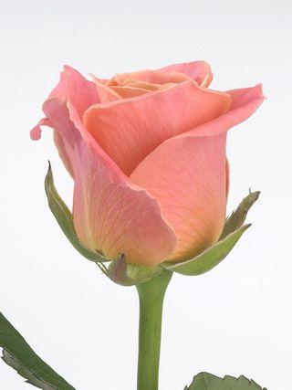 Rose miss Piggy_02
