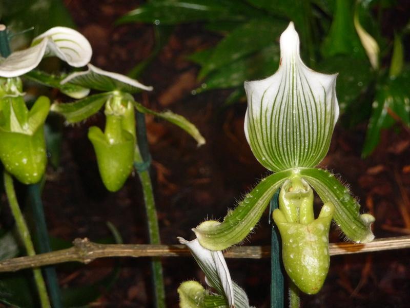 Orchid es sabot de v nus le pouvoir des fleurs - Orchidee sabot de venus ...