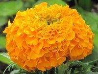 Rose d Inde_2