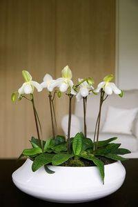 Orchidee_cypripedilum_2