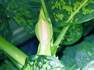 Dieffenbachia-fleur