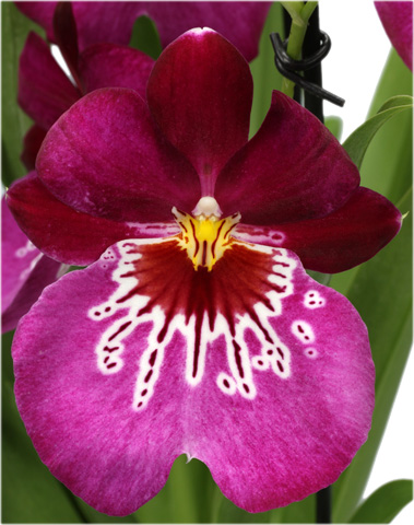 orchid e miltonia le pouvoir des fleurs. Black Bedroom Furniture Sets. Home Design Ideas