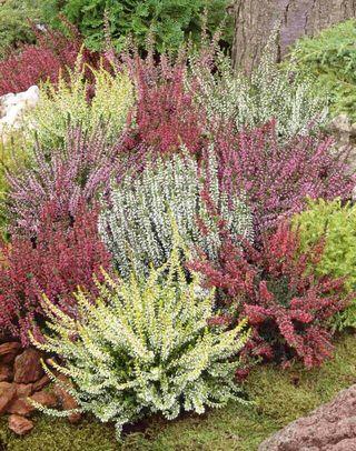 Calluna_vulgaris_gardengirls_gruppe2