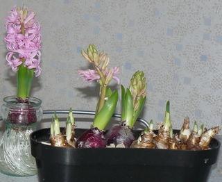 Jacinthes-fleuries