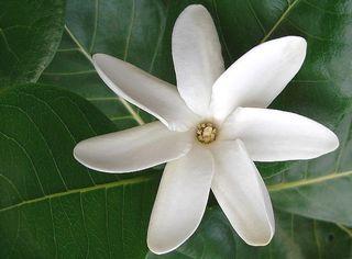 Fleur-tiare