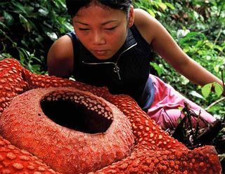 Rafflesia-2