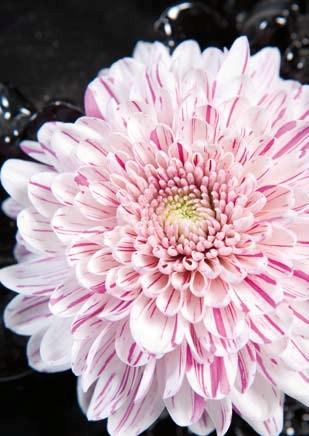 l 39 automne des chrysanth mes le pouvoir des fleurs. Black Bedroom Furniture Sets. Home Design Ideas