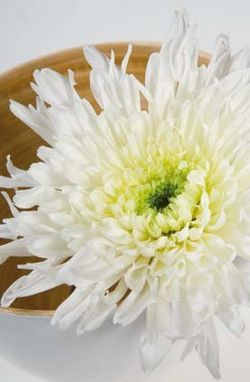 Chrysantheme-uniflore-blanc