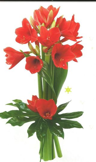 Interflora-amaryllis-campeche