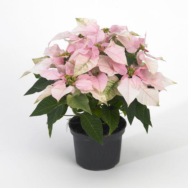 Le poinsettia ou euphorbia princettia le pouvoir des fleurs - Temperature ambiante ideale ...