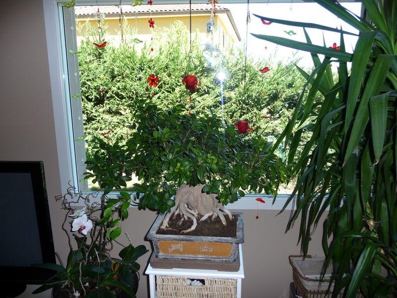 Ficus-2