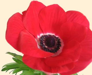 L Anemone Fleur De L Hiver Le Pouvoir Des Fleurs