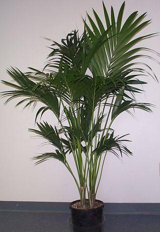 plante verte interieur kentia