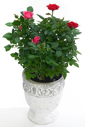 5 conseils pour votre rosier d 39 appartement le pouvoir des fleurs. Black Bedroom Furniture Sets. Home Design Ideas
