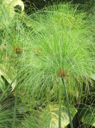 Cyperus-papyrus_02