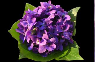 """Résultat de recherche d'images pour """"images et photo de violettes"""""""