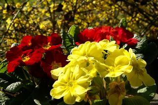 Primulas-jardin