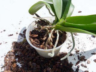 Phalaenopsis-rempotage_04
