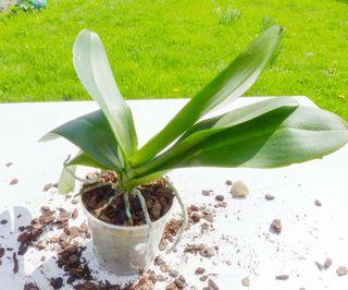 Phalaenopsis-rempotage_05