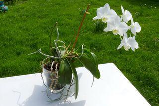 Phalaenopsis-verre_01