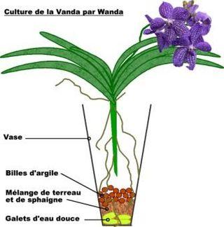 Culture de la Vanda par Wanda
